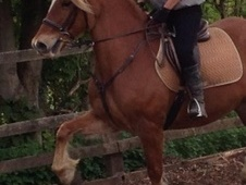 All Rounder horse - 10 yrs 14.2 hh Chestnut - Hertfordshire