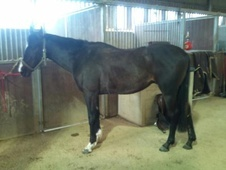 All Rounder horse - 4 yrs 2 mths 15.0 hh Black - West Sussex