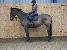 All Rounder horse - 11 yrs 16.1 hh Bay - Cleveland