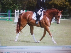 All Rounder horse - 9 yrs 17.0 hh Chestnut - Lincolnshire