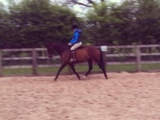 Showing horse - 9 yrs 10 mths 15.3 hh Bay - Staffordshire