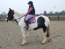 All Rounder horse - 5 yrs 15.0 hh Piebald - Norfolk