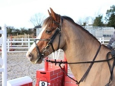 All Rounder horse - 9 yrs 7 mths 14.1 hh Chestnut - Northamptonshire