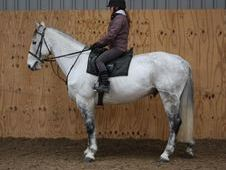 All Rounder horse - 10 yrs 16.1 hh Dapple Grey - Cleveland