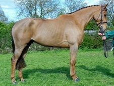 All Rounder horse - 7 yrs 4 mths 16.0 hh Liver Chestnut - Kent