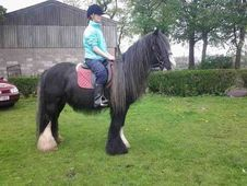 Cobs horse - 12 yrs 14.2 hh Black - Greater Manchester