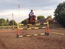 Show Jumpers horse - 8 yrs 14.2 hh Bay Roan - London
