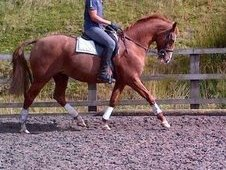 Lovely 15. 3hh Kwpn Mare