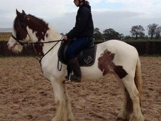 Muffin 15. 1hh Rising 6 Yrs Old Cob.