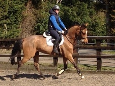 Potential young sports horses horse - 4 yrs 1 mth 16.1 hh Bay - L...