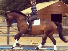 Beautiful Natured Dressage/riding Horse.