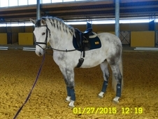 Beautiful Spanish Gelding