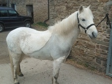 Pony Club Ponies horse - 10 yrs 12.0 hh Grey - Derbyshire