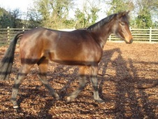 Show pony 13. 2h filly for sale