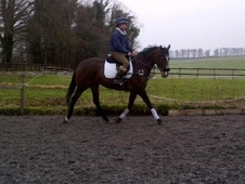 All Rounder horse - 5 yrs 16.2 hh Dark Bay - Wiltshire