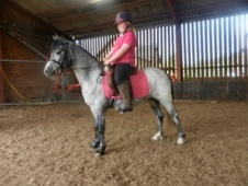 All Rounder horse - 3 yrs 12.0 hh Blue Roan - Cheshire