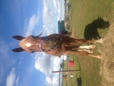 Coednewydd Revelation 95025 14h Section D Gelding