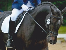 Dressage horse - 15 yrs 11 mths 15.0 hh Dark Bay - Suffolk