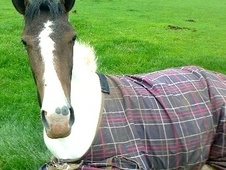 All Rounder horse - 3 yrs 1 mth 16.1 hh Coloured - Derbyshire