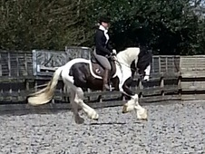 Coloured horse - 3 yrs 14.0 hh Coloured - Kent