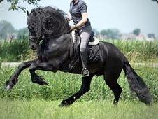8yr Old Friesian Gelding - Dressage Superstar In The Making!