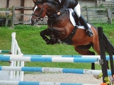 Show Jumpers horse - 6 yrs 16.0 hh Bay - Kent