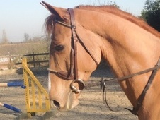 All Rounder horse - 5 yrs 16.1 hh Chestnut - Kent