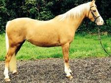 Stunning Welsh B Palomino Mare - Reduced