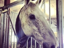 All Rounder horse - 15 yrs 17.0 hh Fleabitten Grey - West Yorkshire