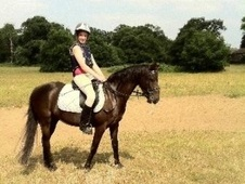 All Rounder horse - 8 yrs 13.0 hh Liver Chestnut - Northamptonshire