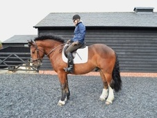 All Rounder horse - 5 yrs 1 mth 16.2 hh Bay - Suffolk