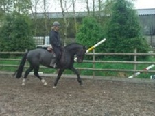 Cobs horse - 7 yrs 15.1 hh Dark Bay - Cheshire