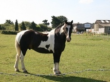 Family horse - 14 yrs 9 mths 15.1 hh Tri-Coloured - Essex