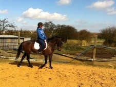 All Rounder horse - 5 yrs 14.0 hh Bay - Kent