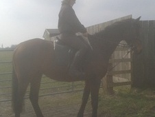All Rounder horse - 6 yrs 15.2 hh Bay - North Yorkshire