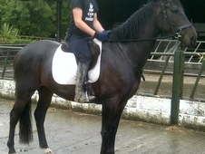 16hh Id/tb 4yrs Bay Gelding Professionally Started