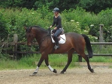 17hh Handsome Bay Gelding