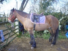 Riding Club Horses/Ponies horse - 15 yrs 1 mth 14.2 hh Bay - Warw...