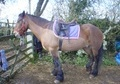 Riding Club Horses/Ponies horse - 15 yrs 1 mth 14.2 hh Bay - Warwickshire