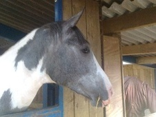 All Rounder horse - 4 yrs 16.1 hh Blue & White - Derbyshire