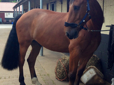 Quality Heavyweight Irish Gelding
