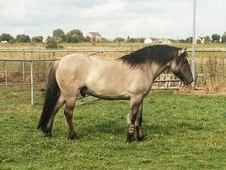 Quality Mouse Dun 4 Year Old Highland Gelding