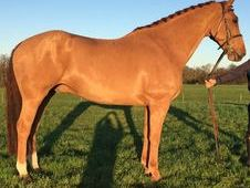 Dressage horse - 8 yrs 16. 1 hh - East Sussex