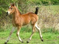 Welsh Cob Section D Foal