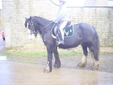 Family horse - 6 yrs 15.0 hh Black - Warwickshire