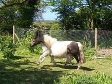 Miniatures horse - 7 yrs 6 mths 34.0 hh Coloured - Devon