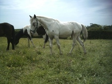 Fintels Fortunefew Spot Gelding, , Born 17th May 2013, Knabstrupp...