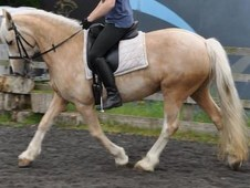14. 2 Palamino Mare 12 yrs young. Registered Welsh Cob cross. Rid...