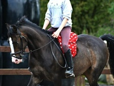 All Rounder horse - 8 yrs 1 mth 13.2 hh Bay - Lancashire