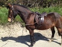 Pony Club Ponies horse - 14 yrs 1 mth 13.2 hh Bay - Clwyd